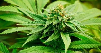 Bewijs effect cannabis is op zijn best 'matig'