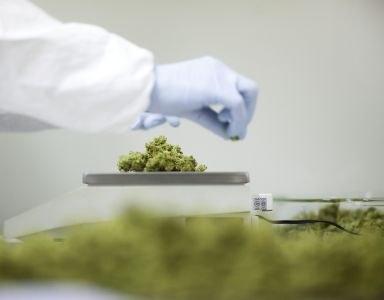 Nivel: huisarts schrijft cannabis zelden voor