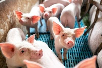 EMA: forse daling veterinair gebruik van antibiotica